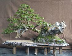 Bonsai Serut on the rock original Panjinh