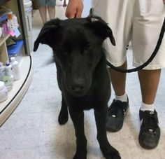 Bear. ~6 months old, Labrador/Shepherd Mix, Neutered/Male. An adoptable dog in Brookings, SD. He is a sweetheart! This sweetheart is FULL of play and energy. Great with playing fetch and really loves attention. He'll need some help learning manners and how to walk properly on a leash. Crate/Housetraining status is unknown, but he seems to do better in a larger kennel than in a crate. Go to Petfinder.com (zip code 57006 or type in your zip code to find pet by you). adopted