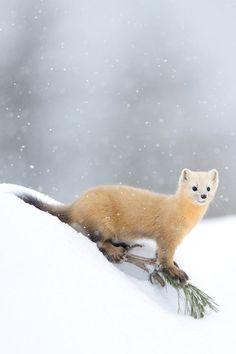 ♡ weasel's winter coat