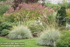 Blue Oat Grass flanks grass path, Joe Pye Weed bkgnd [Helictotrichon sempervirens; Eupatorium fistulosum].  0715542