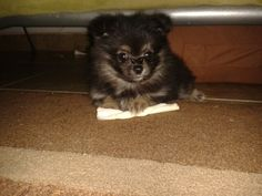 Beatiful pomeranian's puppy♡ . Bartolo its the best