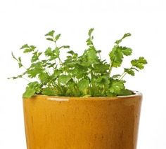 how to grow cilantro indoors!