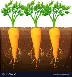 Fresh carrot growing in the field Royalty Free Vector Image Vegetable Drawing, Fresco, Paper Flowers Craft, Plant Science, Farm Theme, Plant Growth, Arte Floral, Garden Trees, Mothers Day Cards