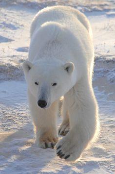 229 Best Bear Necessities Images Bear Animals Polar Bear