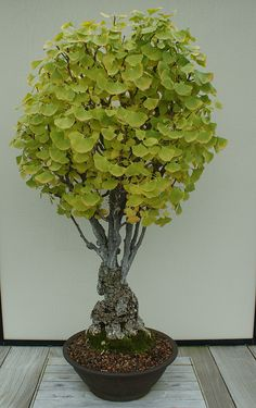How old is that Ginko tree Bonsai Bonsai Acer, Bonsai Plants, Bonsai Garden, Garden Plants, House Plants, Juniper Bonsai, Bonsai Trees, Ikebana, Terrarium