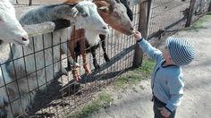 Pár napja meséltek ismerőseink erről az állatkertről, ami Felsőlajoson található 20 hektáron. Az állatok nagy tágas kifutókon, magas akác, nyár,...