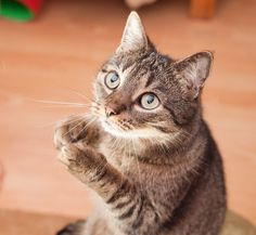 Everyone knows you can teach dogs tricks, but did you realize how good cats were at learning new things too? Cats love to work for food, so teaching them tricks for treats is the perfect way to have some fun …