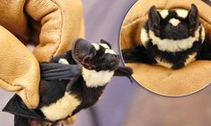 The find of a lifetime:  'panda bat' discovered in South Sudan ...and I wouldn't call it bizarre, unusual would be a better term