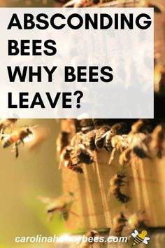 When bees leave the hive it is called absconding.  Why do bees abscond from their hive? #carolinahoneybees #abscondingbees #beesleavehive