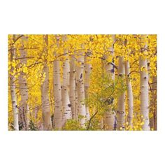 Customizable #Aspen #Autumn #Change #Color #Colorado #Colorful #Daytime #Fall #Foliage #Forest #Grove #Gunnison#County #Gunnison#National#Forest #Julie#Eggers #Kebler#Pass #Leave #Lush #Natural #Nobody #North#America #Outdoor #Season #Subalpine #Tree #Usa #Woodland Autumn aspens in Kebler Pass in Colorado. Canvas Print available WorldWide on http://bit.ly/2ff9S8l