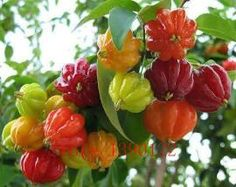 20pcs Surinam Cherry seeds, Pitanga fruit seeds,Brazilian Cherry{red}