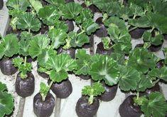 muskátli, dugványozás, Garden Soil, Garden Plants, Outdoor Plants, Outdoor Gardens, Growing Geraniums, Garden Park, Diy Home Crafts, Lush Green, Flower Seeds