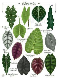 Plante Alocasia, Alocasia Plant, Vegetable Illustration, Plant Illustration, Leave In, Tropical Leaves, Tropical Plants, Decoration Plante, Plant Identification
