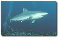 Learn about the silvertip shark with The Fins United Initiative.