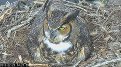 "Landings Bird Cam: ""14:21 2/23 The great horned owl has a distinctive white 'bib',or throat patch& extraordinarily large yellow eyes."