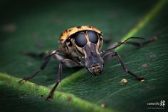 Fungus Weevil (Anthribidae) by samanthaHAN