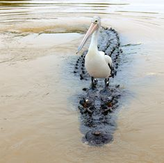 A Pelican making a saltwater crocodile its bitch. Not a single fuck was given. - Imgur