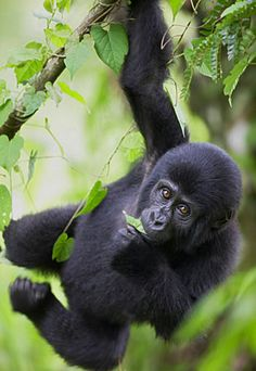 Young Mountain Gorilla hanging from tree, Bwindi Impenetrable National Park, Uganda, Africa (© Exactostock/SuperStock)