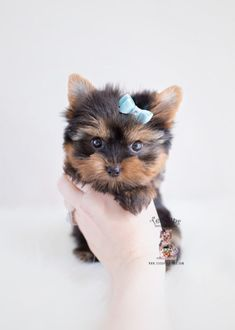 Browse tiny Teacup, Micro Teacup and Toy Yorkshire Terrier puppies for sale. Browse to find the tiniest and cutest Yorkie puppies for sale in South Florida area I Love Dogs, Cute Dogs, Awesome Dogs, Teacup Puppies For Sale, Yorkie Puppy For Sale, Yorkie Puppies, Toy Puppies, Husky Puppy, Top Dog Breeds
