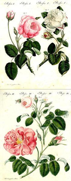 Rosa centifolia by F. J. Bertuch. Antique botanical rose illustration.