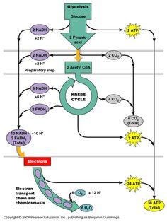 Aerobic glycolysis >> Krebs Cycle >> oxidative Phosporylation