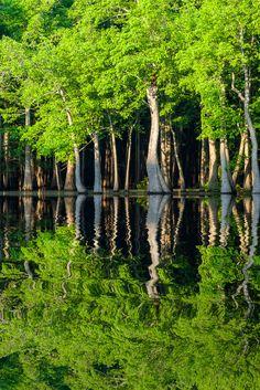 Tupelo trees and green foliage | Hickson Lake, Arkansas, USA (by BobHenry052413)