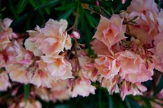 Toxic – Fables and Flora Mediterranean Plants, Peach Blossoms, Peach Colors, Shrubs, Flora, Gardening, Landscape, Rose, Natural Beauty
