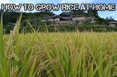 How To Grow Rice At Home gardening shtf prepping survival food