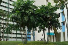 Ptychosperma macarthurii *MacArthur Palm*