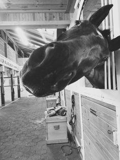 Horse muzzle in barn