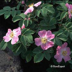 Rosa canina Buskros Skuggtålig 200-300 cm sommar Zon 6 FRITIDSGRUND, många nypon