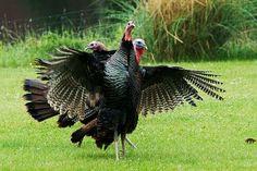 Bird Pictures from Michigan (Images of Birds) Turkey Bird, Turkey Wings, Wild Turkey, Black Turkey, Pictures Of Turkeys, Turkey Images, Bird Pictures, Turkey Hunting, Hunting Dogs