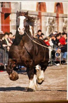 Draft horse - Percheron horse