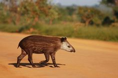Odd-toed hoofed mammal are a group of mammals that includes horses, rhinoceroses and tapirs.