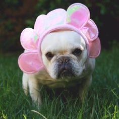 """""""Happy Easter my FOOT!"""", when I get this thing off my Head you better RUN!..."""" frustrated French Bulldog Easter Bunny"""