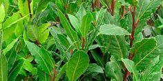 Aromas do Cumbuco: COMO PLANTAR LOURO