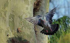 Pigeon colombin by robert-zielinski on 500px