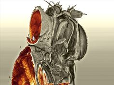 This cross-sectional, 3D image shows the tissues inside a fly's head, including the eyes, which was captured with a new technique called ultra microscopy.