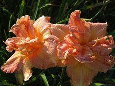 Siloam Double Coral daylily