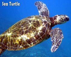 Green Sea Turtles seen when Snorkeling in Hawaii #Hawaii #Travel #Snorkeling