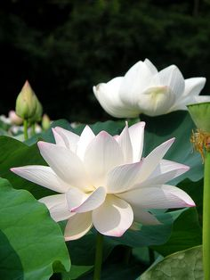pankajsakina: allasianflavours: lotus pond 2 by k_keiko pankaj