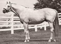 Native Dancer (March 27, 1950 - November 16, 1967), nicknamed the Grey Ghost, was one of the most celebrated and accomplished Thoroughbred racehorses in history and was the first horse made famous through the medium of television. As a two-year-old, he was undefeated in his nine starts for earnings of $230,495, a record for a two-year-old. During his three years of racing, he won 21 of 22 starts.