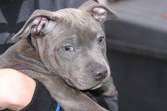Cute baby blue staffie