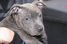 Cute baby blue staffie