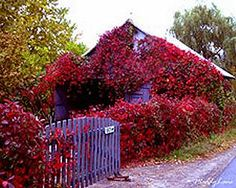 Virginia Creeper in autumn on purple garden shed - can be very aggressive but grows in zone and lovely in the fall - gets feet tall Climbing Flowers, Virginia Creeper, Gardening Zones, Purple Garden, Fall Plants, Flowering Vines, Enchanted Garden, Autumn Garden, Outdoor Landscaping