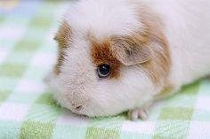 豚鼠 guinea pig by starhwa, via Flickr