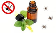 Peppermint Spider Repellent