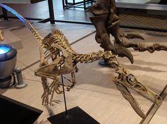 Velociraptor skeleton - Velociraptor - Wikipedia, the free encyclopedia