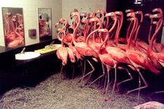 """extinction-illustrated: """"American flamingoes in the bathroom at Miami Zoo, before the arrival of Hurricane Georges in 1998. Photo: Max Trujillo """""""