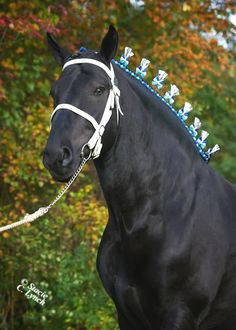 Percherons horses tips. Start teaching Percherons horsespies basics of grooming to your Percherons horses. Should you start the grooming early, you will not have any problems with it. It is very difficult getting through a Percherons horses that does not take well to grooming.